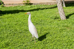 Heron walks on green grassy lawn Stock Images