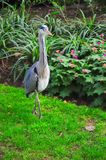 A Heron walks in a local park royalty free stock images