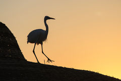 Heron Walks on the Roof Royalty Free Stock Photography