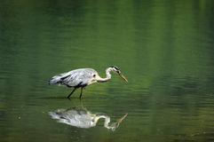 Heron watching a fish Stock Images