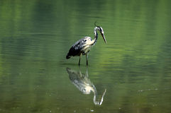 A heron watching a little fish Stock Photo