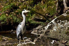 Heron in the water Royalty Free Stock Images