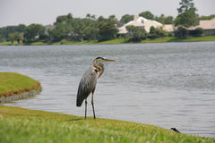 Heron by Water Stock Photography
