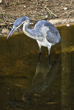 Heron in water Stock Photo