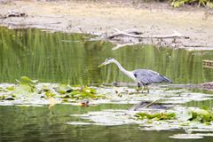 Heron in the water Stock Photography