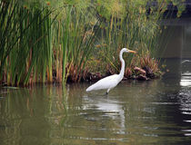 Heron on the Water Stock Photography