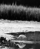 Heron in the Water royalty free stock photo