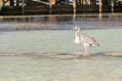 A heron on the water Stock Photography