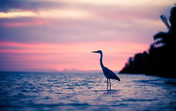 Heron in the water at sunset Royalty Free Stock Image
