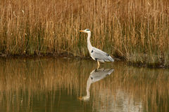 Heron at waters edge. Heron on reeded pond at waters edge Stock Photos
