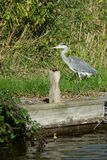 Heron at the waters egde Royalty Free Stock Images