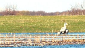 Heron in the wild. The Heron shaking it`s wings 11 stock footage
