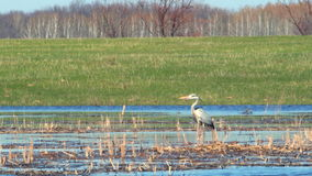 Heron in the wild. The heron stands in the dry cane and watches what is happening 6 stock footage