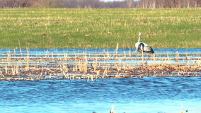 Heron in the wild. The heron stands in dry cane and watches what is happening 10 stock footage