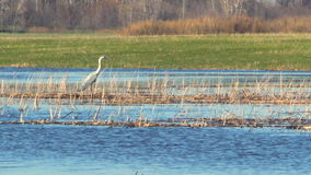 Heron in the wild. The heron stands in the dry cane and watches what is happening 3 stock footage