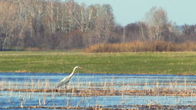Heron in the wild. The heron stands in the dry cane and watches what is happening 2 stock video footage