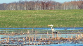 Heron in the wild. The heron stands in the dry cane and watches what is happening 5 stock video