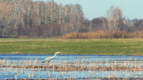 Heron in the wild. The heron stands in the dry cane and watches what is happening, stretching its neck 1 stock video