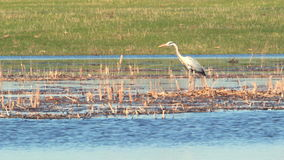Heron in the wild. The heron stands in the dry cane and watches what is happening, stretching its neck 8 stock footage