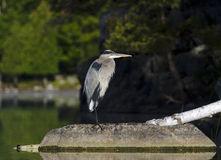 Heron in the Wilderness Stock Images