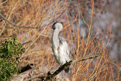 Heron on willow, hiding head Royalty Free Stock Photo
