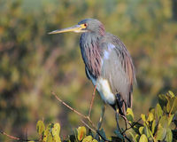 Heron2 Stock Photo