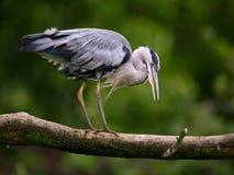 Heronfågel på treefilial Arkivfoto
