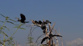 Heronry with African Darter, anhinga rufa, Adult taking off, in flight, Baringo Lake in Kenya,. Slow motion stock video footage