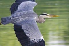 herons Arkivfoton