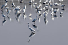 Herons. Royalty Free Stock Image