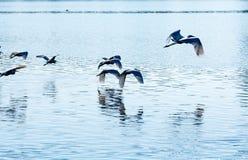 herons royalty-vrije stock afbeeldingen