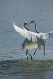 Herons Stock Images