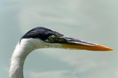 herons royalty-vrije stock fotografie