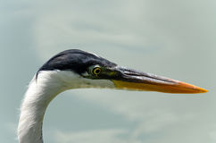 herons Fotografia de Stock Royalty Free