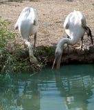 herons Royalty-vrije Stock Foto