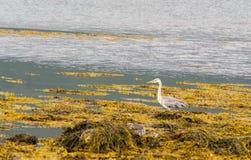 herons stock foto