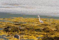 herons stock foto's