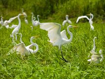 Herons. Photo of many white herons, Venezuela, River Orinoco Royalty Free Stock Photo