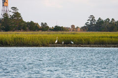 Herons on Coast by Wetland Marsh. With Fire Tower in background Stock Photo