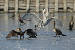Herons and cormorants, an oasis of Val Campotto, Ferrara, Italy Royalty Free Stock Image