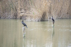 Herons. Couple of herons perched in a pond Royalty Free Stock Image