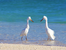 Herons Courting. Two beautiful white herons face off for a courtship dance in shallow, pristine water Royalty Free Stock Photography