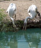 Herons Royalty Free Stock Photo