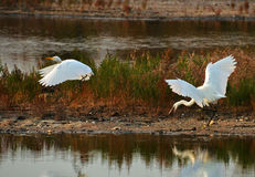 Herons fight. White egret attack white heron in the marsh Royalty Free Stock Image