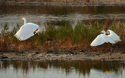 Herons fight. White heron vs white egret in the marsh Royalty Free Stock Photography