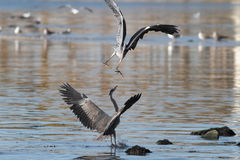 Herons fight Royalty Free Stock Images