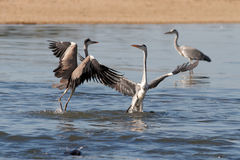 Herons fight Royalty Free Stock Photography