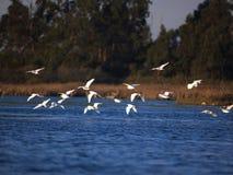 Herons in flight Stock Image