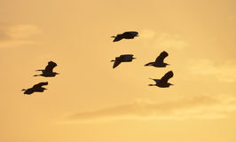 Herons flight at sunset. Flight of herons flying counter light at sunset Royalty Free Stock Photos