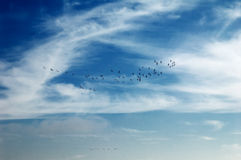 Herons flying in blue sky Stock Photos